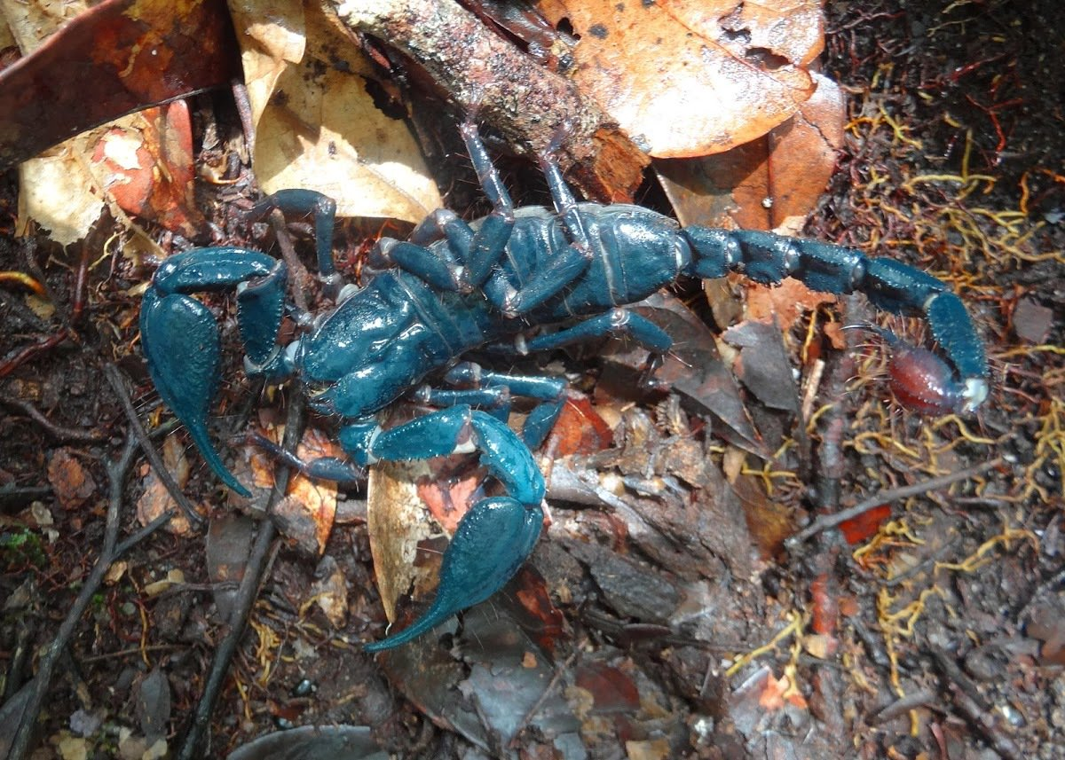 This strikingly blue Giant Forest Scorpion from Borneo is our Spotting of the Day! https://t.co/FmwpRYTO0y https://t.co/YSFYpzaFMO