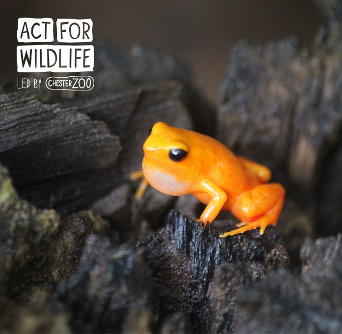 Image result for golden mantella frog chester zoo