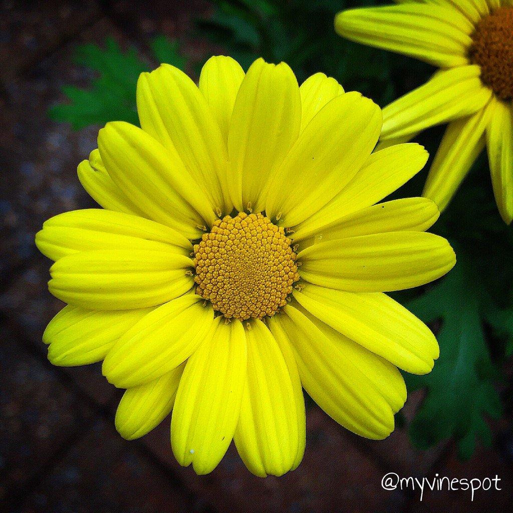 Dezel Quillen On Twitter Argyranthemum The Name Is A Bit Of A