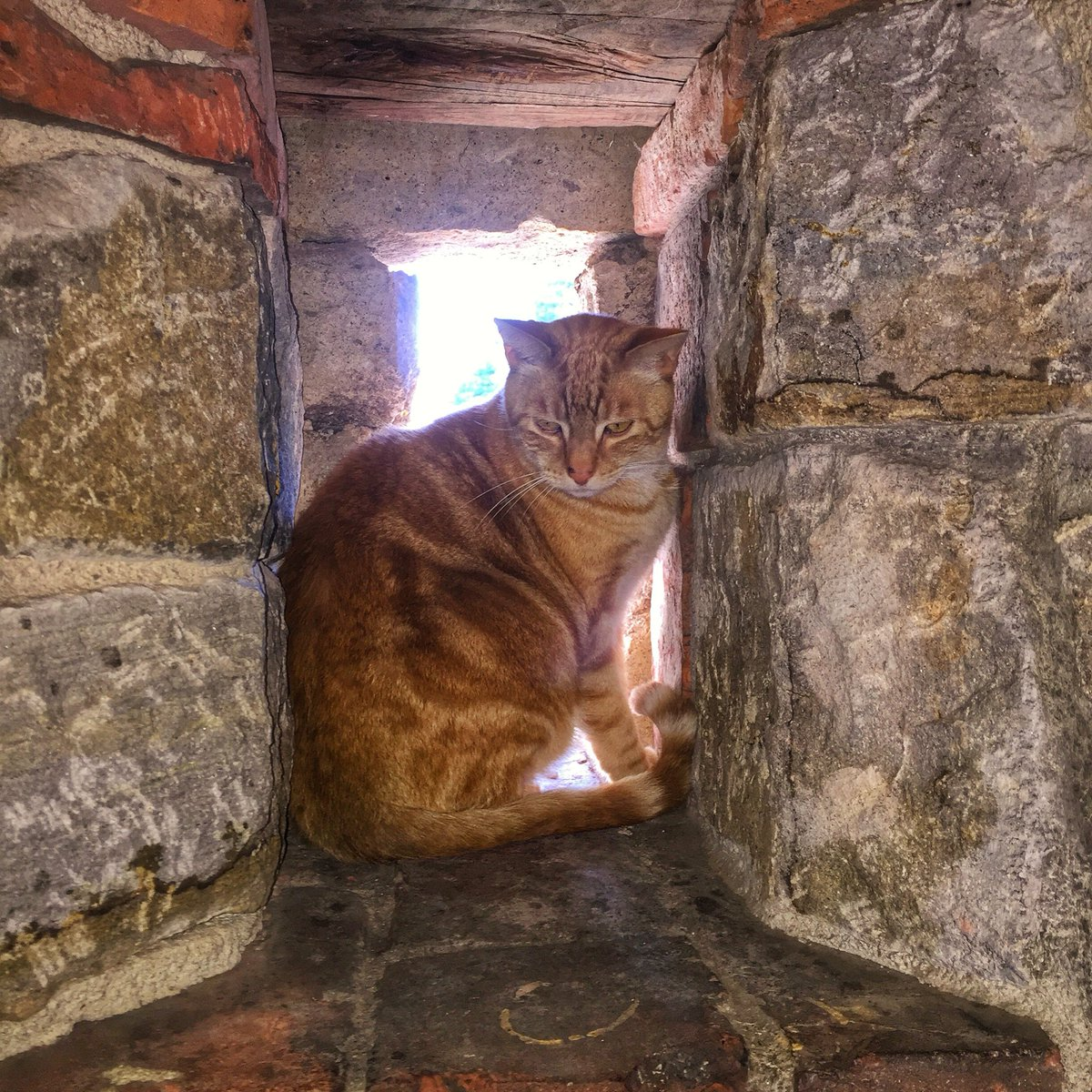 castello di amorosa on twitter castle cat sirlancelot in the house