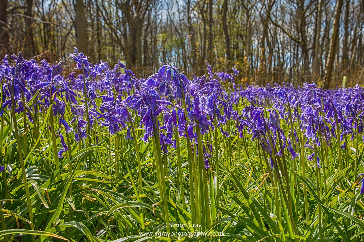 Was great to see the bluebells out in force this May Day! @SimonParkinITV @gardenofkent @Kent_Online @news_in_kentpic.twitter.com/ELJYYCHGmA