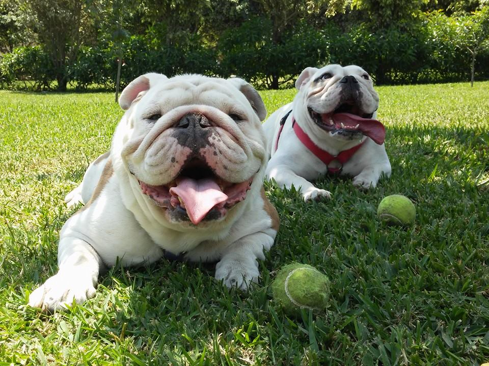 two English Bulldogs lying on the grass