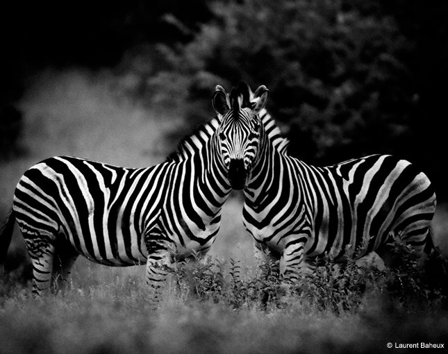 "Behind The Shot: ""Two Zebras"" By Laurent Baheux—South Africa. https://t.co/LIAGCii2hR https://t.co/LBEUlETxLW"
