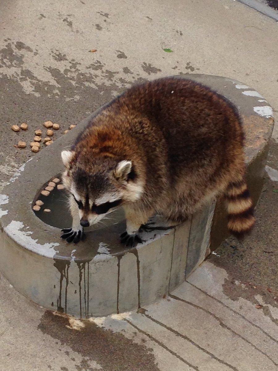 話題になった万力公園のアライグマに会ってきたwほんと丸すぎwww pic.twitter.com/ZOhAFddJVQ