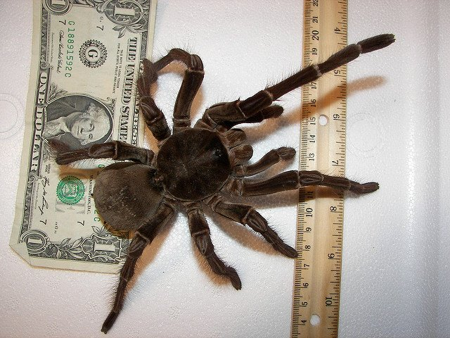 WorldofAnimalsMag on Twitter  Goliath birdeater size of a dinner plate weighs as much as a puppy 25yr lifespan and its fangs can pierce skullsu2026   & WorldofAnimalsMag on Twitter: