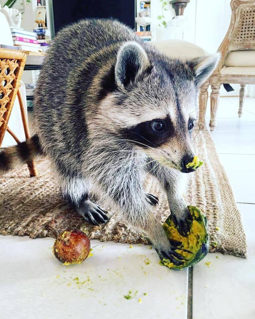 Pumpkin The Raccoon On Twitter The Aftermath - Pumpkin rescued raccoon