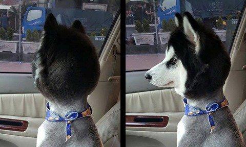 【twitter】愛犬を散髪に出したらバブルヘッド人形のようになって戻ってきたwww(画像) - https://t.co/8HOkoE2S9n https://t.co/GFjiqd6l2j