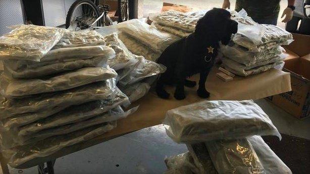 Florida police K9 sniffs out 72 bags of marijuana – CBS News