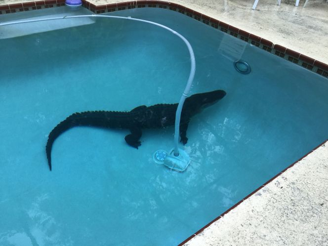Gators take dips in backyards pools in Temple Terrace, Palm Harbor