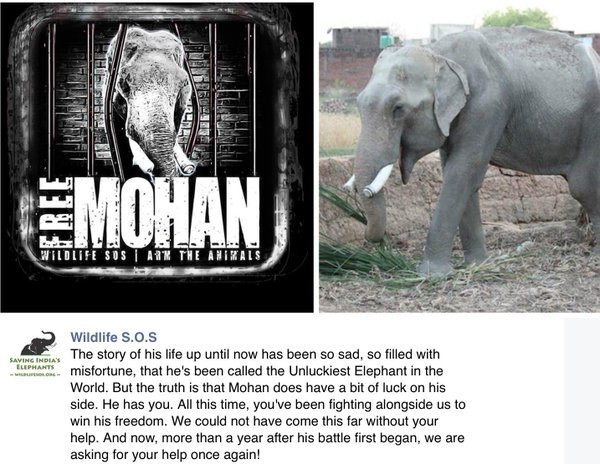 Please consider donating to free Mohan. This poor elephant is really suffering https://t.co/PwLdxgxrl9 @WildlifeSOS https://t.co/ndNxzwXf9W