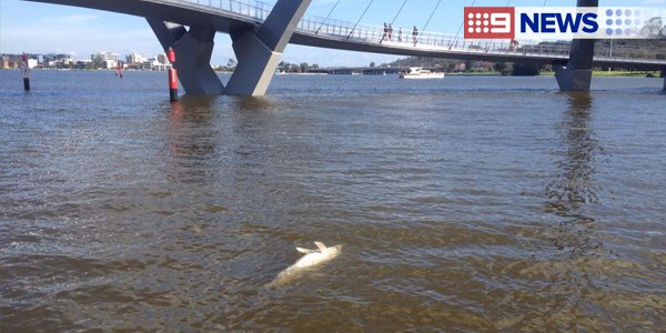JUST IN: A dead baby dolphin has been found at Elizabeth Quay. (Pic/@PaulGerrard1) #9News https://t.co/RksRTf1r7Z