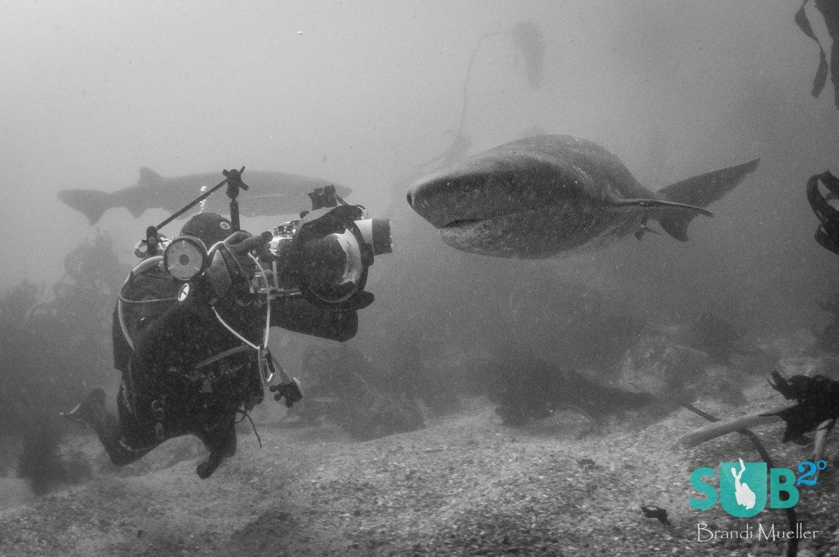 #CowShark and Diver . Shot by Brandi Mueller #SouthAfrica CC @GoToSouthAfrica #scuba  http:// goo.gl/JXI443  &nbsp;  <br>http://pic.twitter.com/pEL72DyWFe