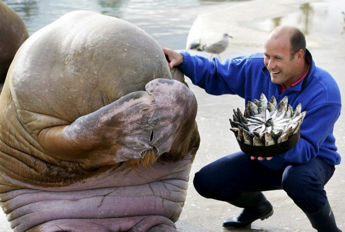 Embarrassed Walrus with Fish Cake Presented on His Birthday...(no idea where this came from) https://t.co/pc2tJJG2D7
