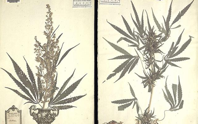 Everything You Ever Wanted to Know About the Discovery of Pot