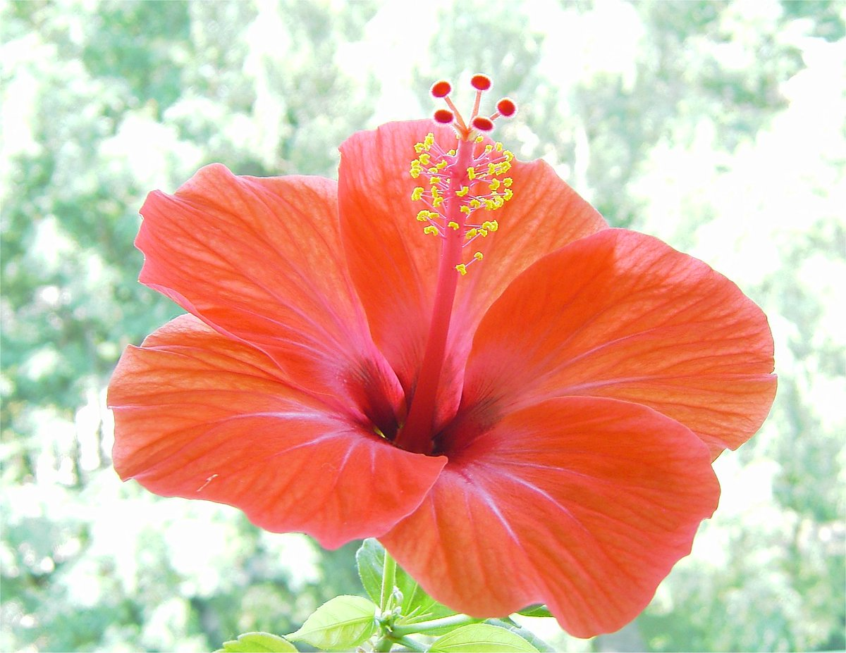 Several types of the pretty hibiscus flower can be found all around #Asia. One type is #Malaysia's national flower. https://t.co/9RRQrMGXC3