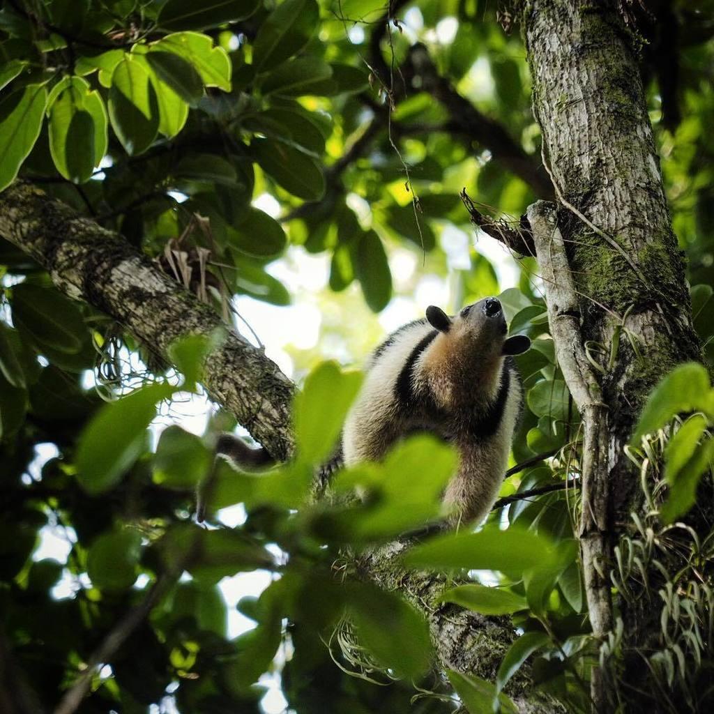 We spotted an anteater! #arenal #arenalvolcano #costarica #wildlife #wildlifephotography @… https://t.co/mULojo4gg2 https://t.co/nrC4XuzIXW
