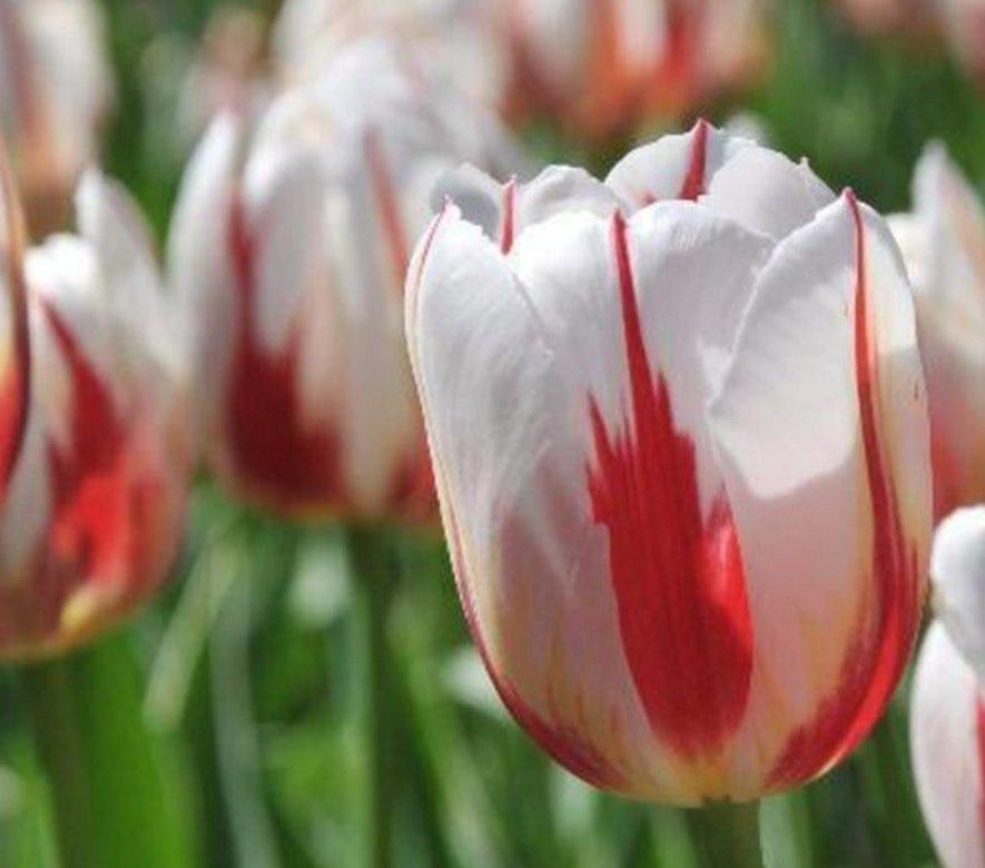tulipe 150e canada
