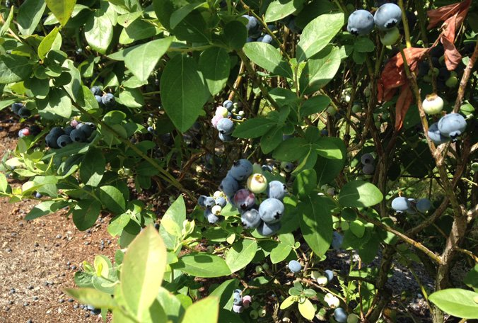 Haines City grower invites charities to take hail-damaged blueberries