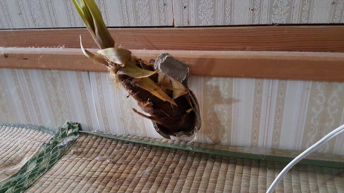 俺の部屋の壁貫いて、タケノコ生えてんだけど!! pic.twitter.com/SgianMgXON