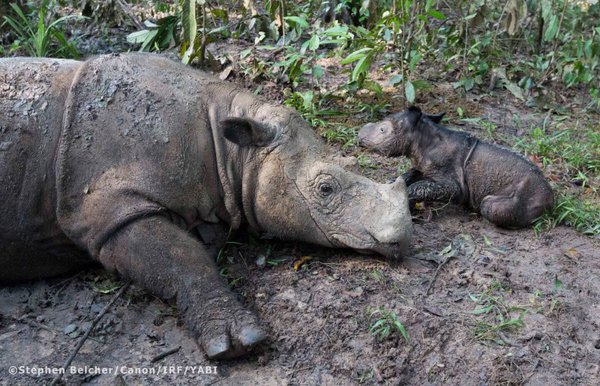 Much aloha to the @RhinosIRF, Ratu, her baby & everyone who helps rhinos https://t.co/mmwWPCA1xW 45lbs of love! https://t.co/r1ol6k6rPs
