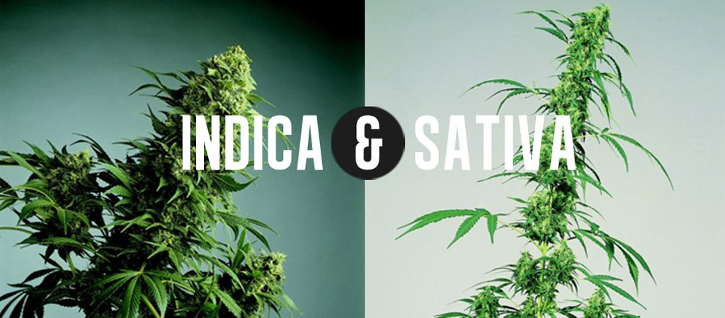 Quiz! Which Weed Do You Need: Indica or Sativa?