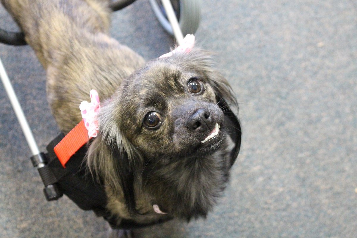 Paralyzed puppy Genie abandoned, saved, now in need of new home
