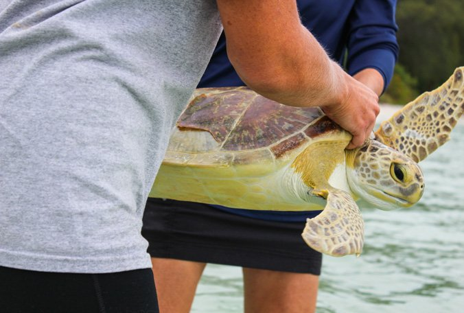 Rescued sea turtle 'Henry' released back into wild