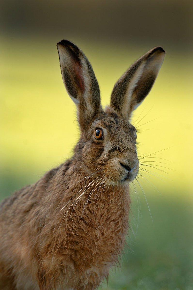 Заяц кудрявый картинки