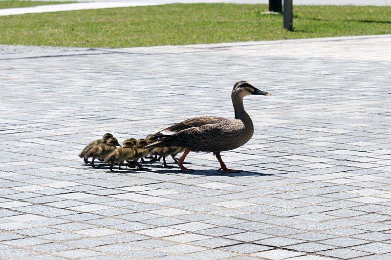 本日お昼ころ、カルガモの親子が小金井キャンパスを訪れました。近くの玉川上水から来たのでしょうか?途中、子ども4羽がはぐれそうになってしまいますが、すぐにお母さんが迎えに来て、仲良くキャンパス内を散歩していました。 https://t.co/vvcz1fXApe