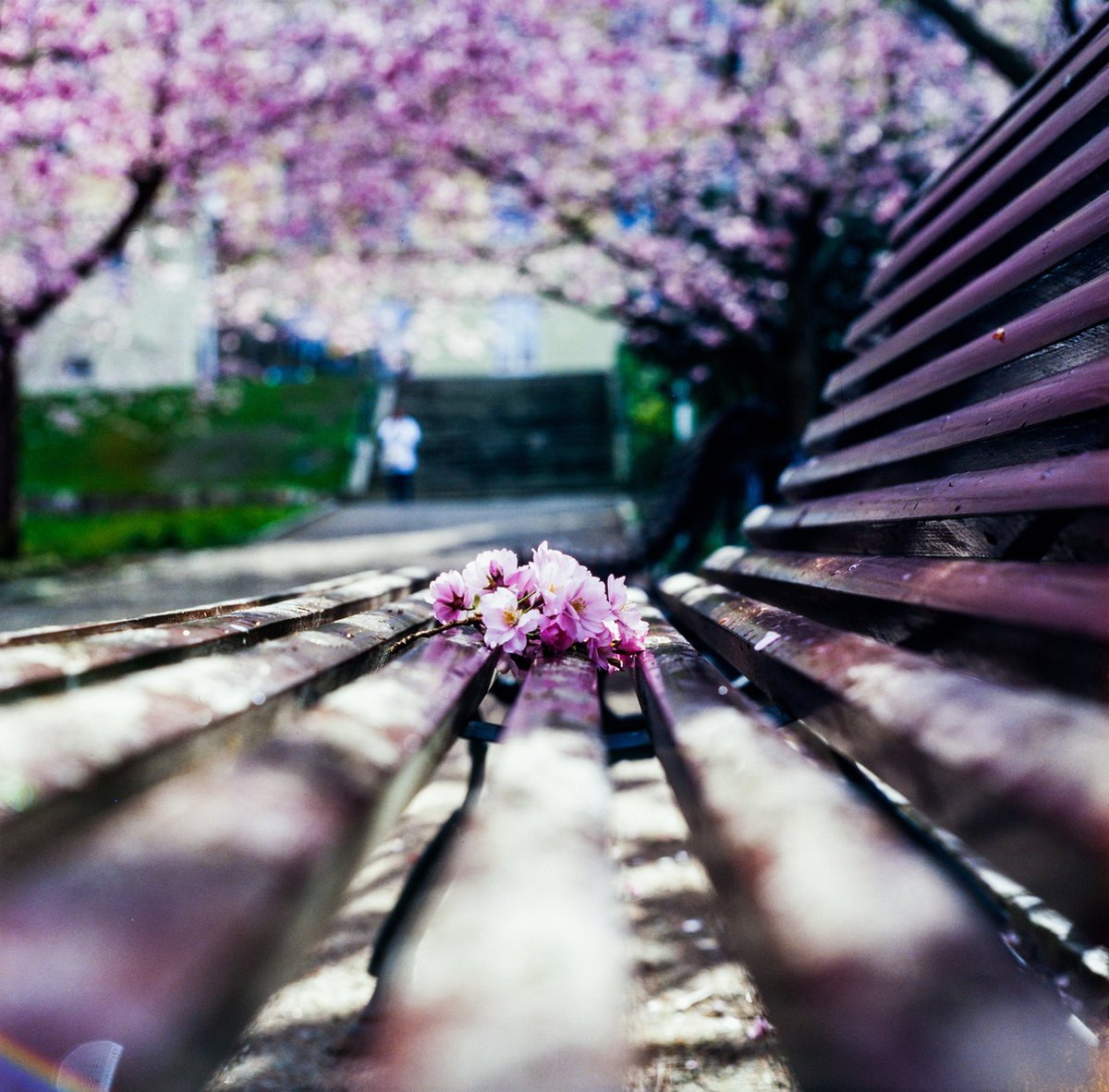 Sakura moment: Kodak ektachrome lumiere 100, rolleicord III @EMULSIVEfilm @KodakProFilmBiz  @jonasx70 #believeinfilm https://t.co/sRJjgLj0uQ