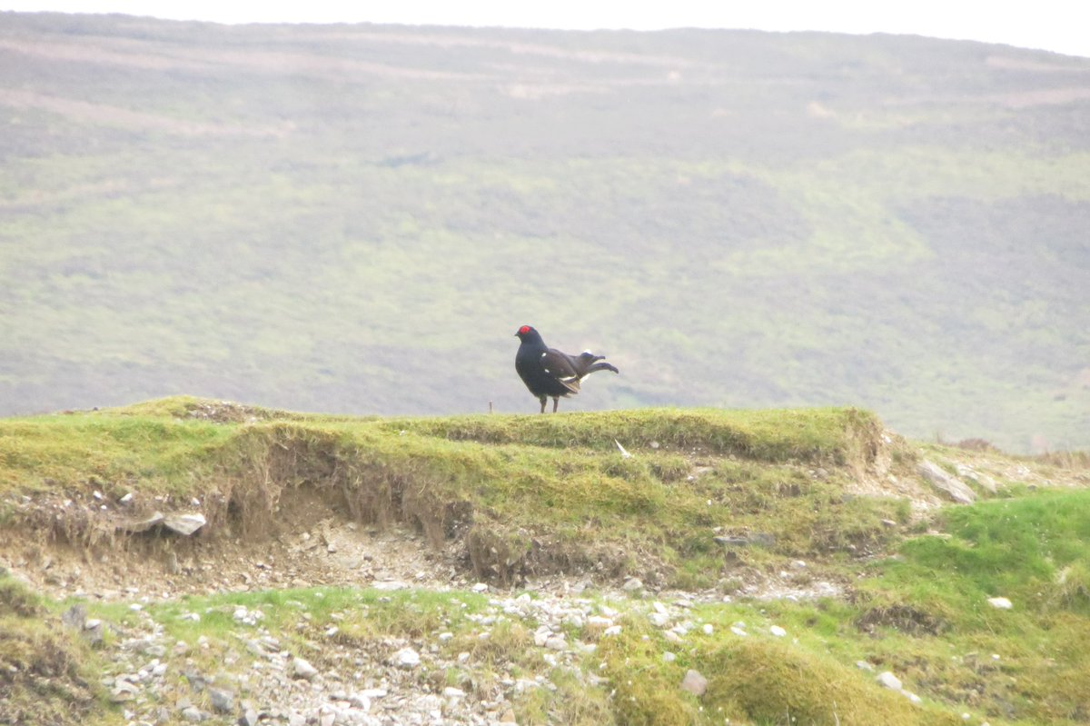 a Black Grouse, taken tonight at World's End, nr Wrexham https://t.co/F8Wsx6Ism2