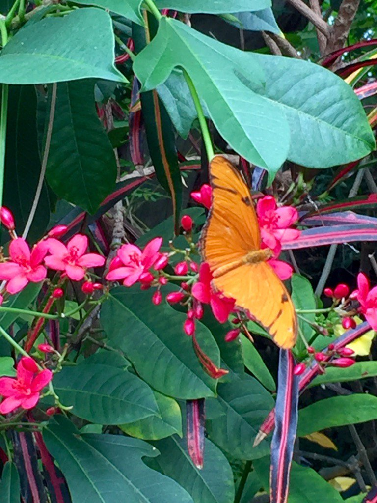 In #Pittsburgh At #PhippsConservatory The Butterfly Garden Is Going Wild!  Be Sure To Visit #travel #phippsnews Pic.twitter.com/Cj4il4GP6e