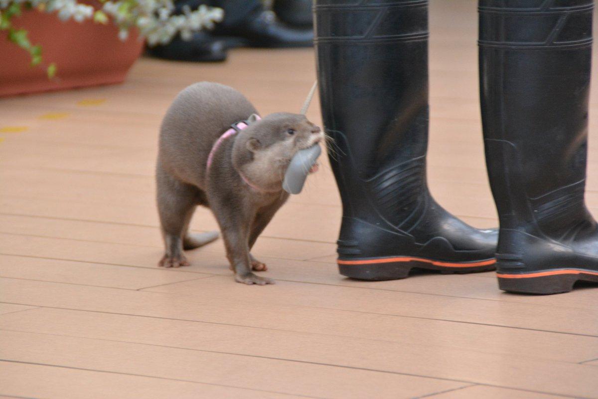 おもちゃを長靴に入れるハクさん。#サンシャイン水族館 #カワウソ pic.twitter.com/gFLSblilrS