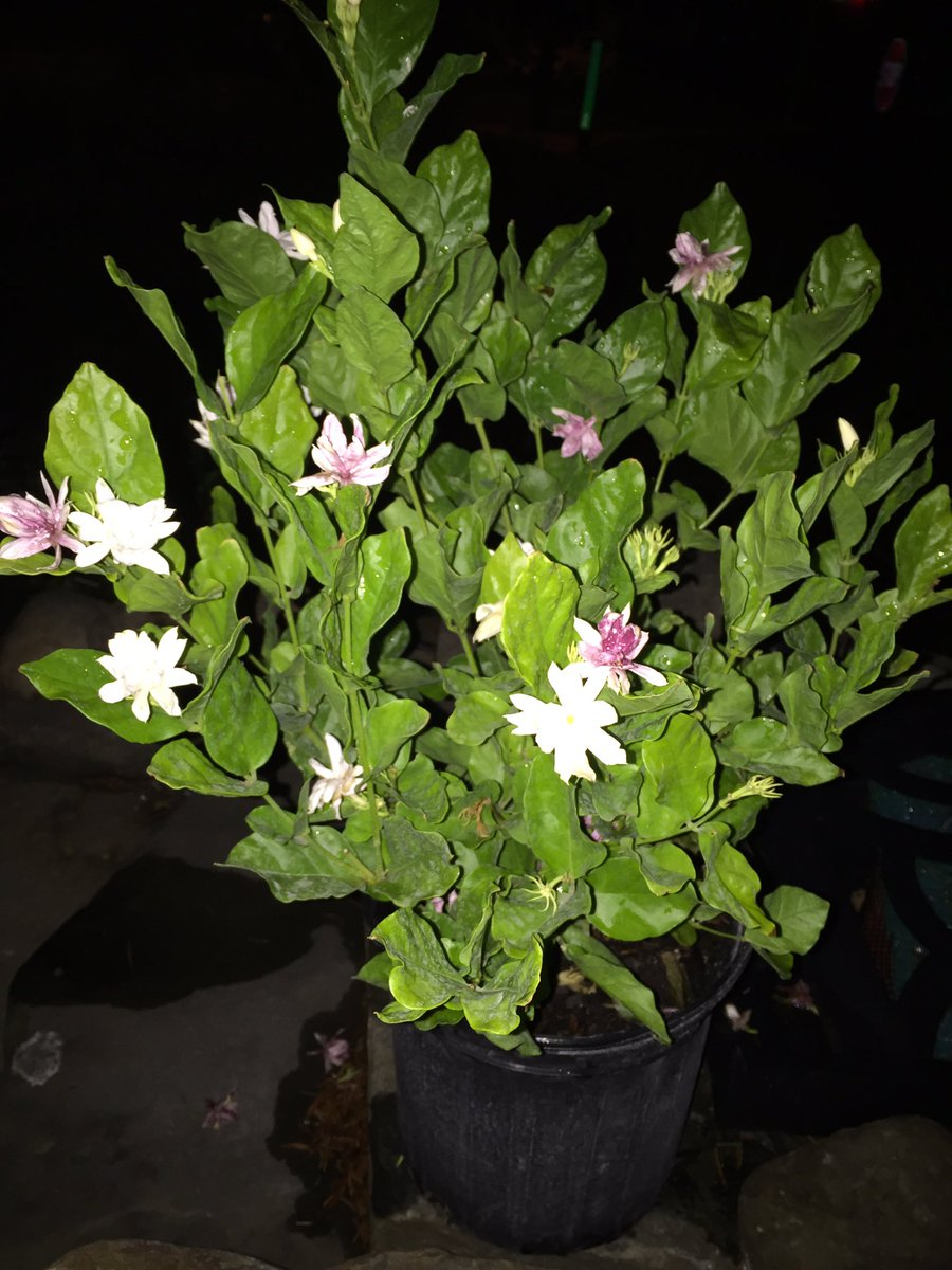 Cawffeegoddess on twitter 3 diff jasmine types the cawffeegoddess on twitter 3 diff jasmine types the yellow italian jasmine flowers are tiny but smell so big izmirmasajfo