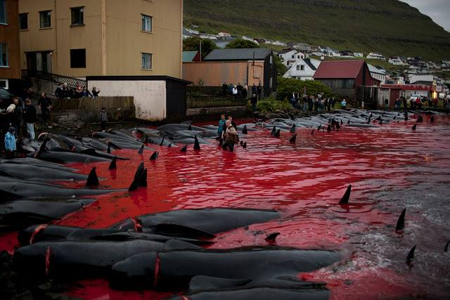 Average yearly take of Pilot whales..838, Dolphins..75  http://wowvstaiji.com #faroeislands