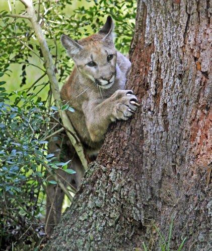 Column: As Florida panthers die, we keep on developing wild Florida