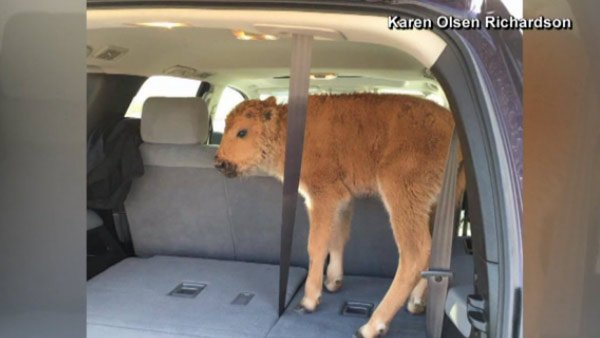 Yellowstone bison calf put down after interaction with tourists