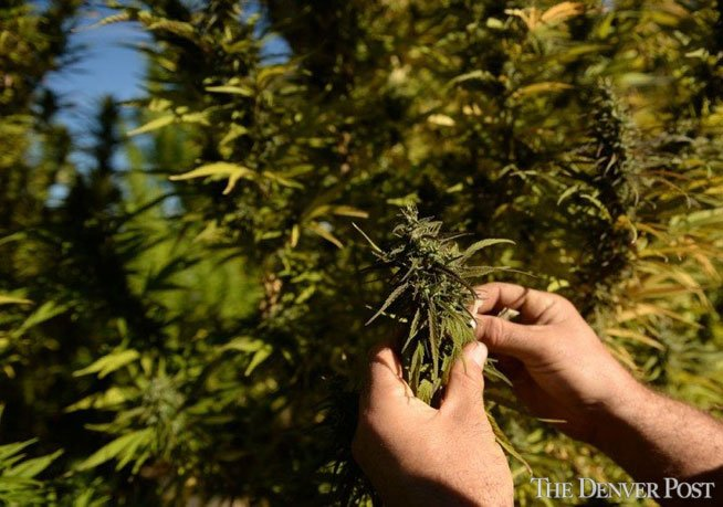 Wisconsin Indian tribe: We won't plant any more hemp — for now