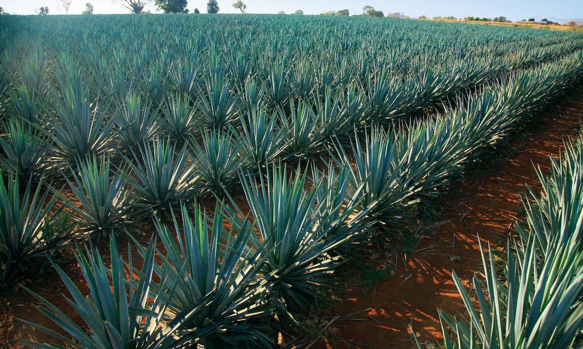 tequila bueno para la diabetes