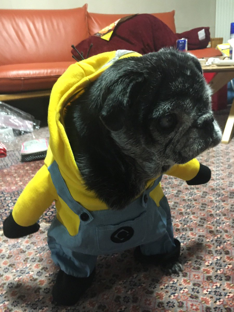 টইটর Nabesama アメリカで買ったミニオンの服を実家の犬に
