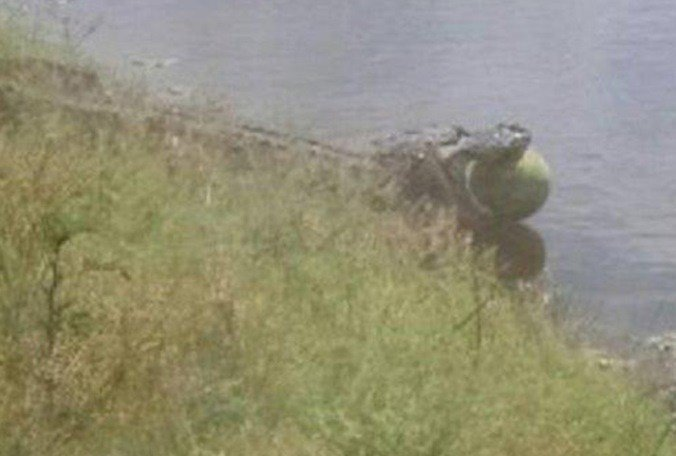 Sweet tooth: South Florida alligator caught swiping watermelon