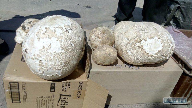 съедобные грибы фото в подмосковье
