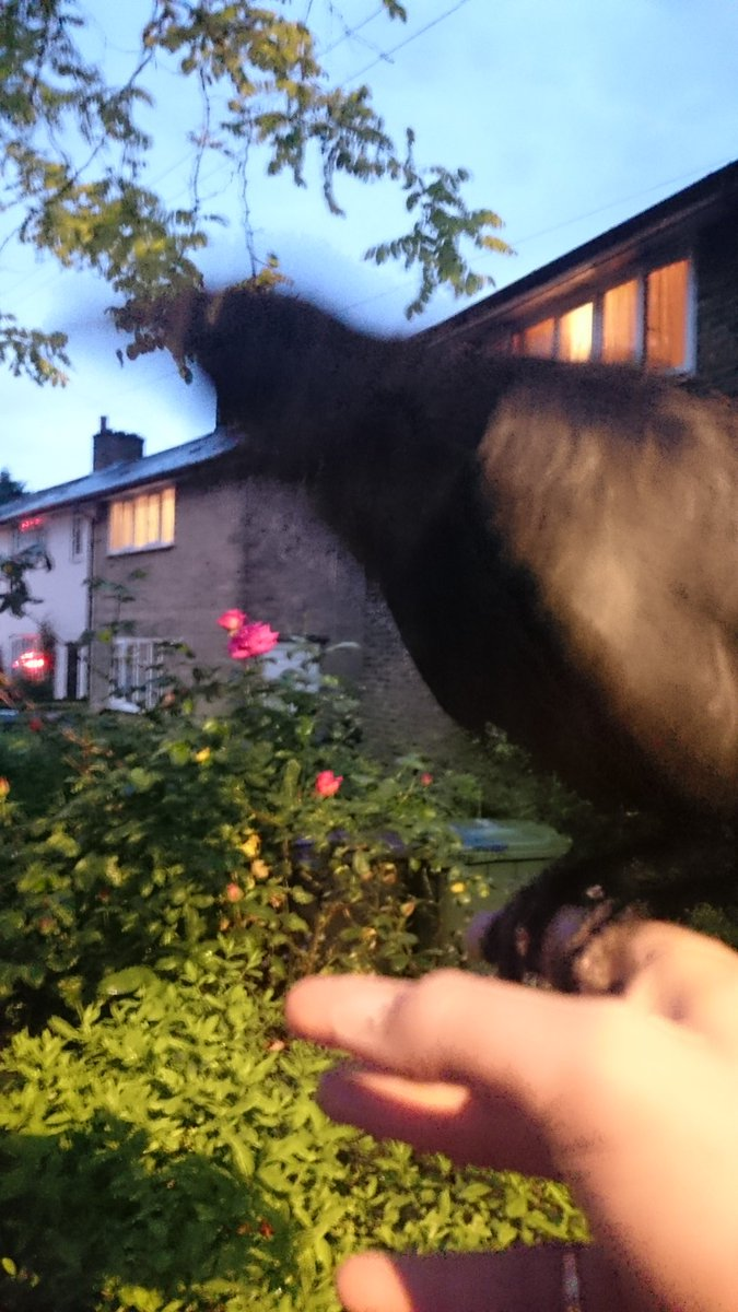 The most amazing thing just happened.  A baby Crow was stuck in a bush. I helped it and it flew onto my finger! https://t.co/QiVid3diII