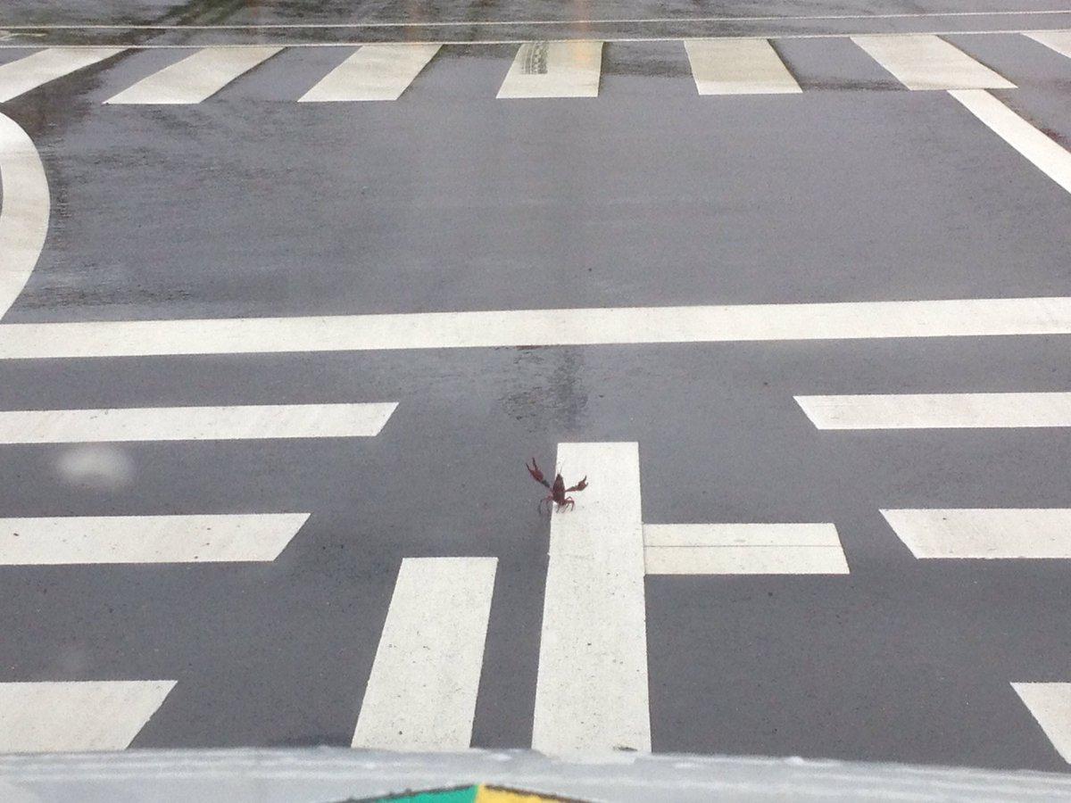 みんな気をつけろwザリガニが道路に飛び出て来たんだ…!