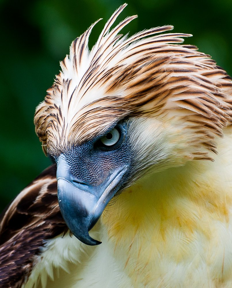 秘密でもなんでもないがフィリピンワシさん イケメン揃いの猛禽類の中でもかなりのイケメンぷり フィリピンの国鳥 #秘密にしておきたかった生き物