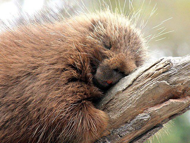 いいですよね カナダヤマアラシ #秘密にしておきたかった生き物