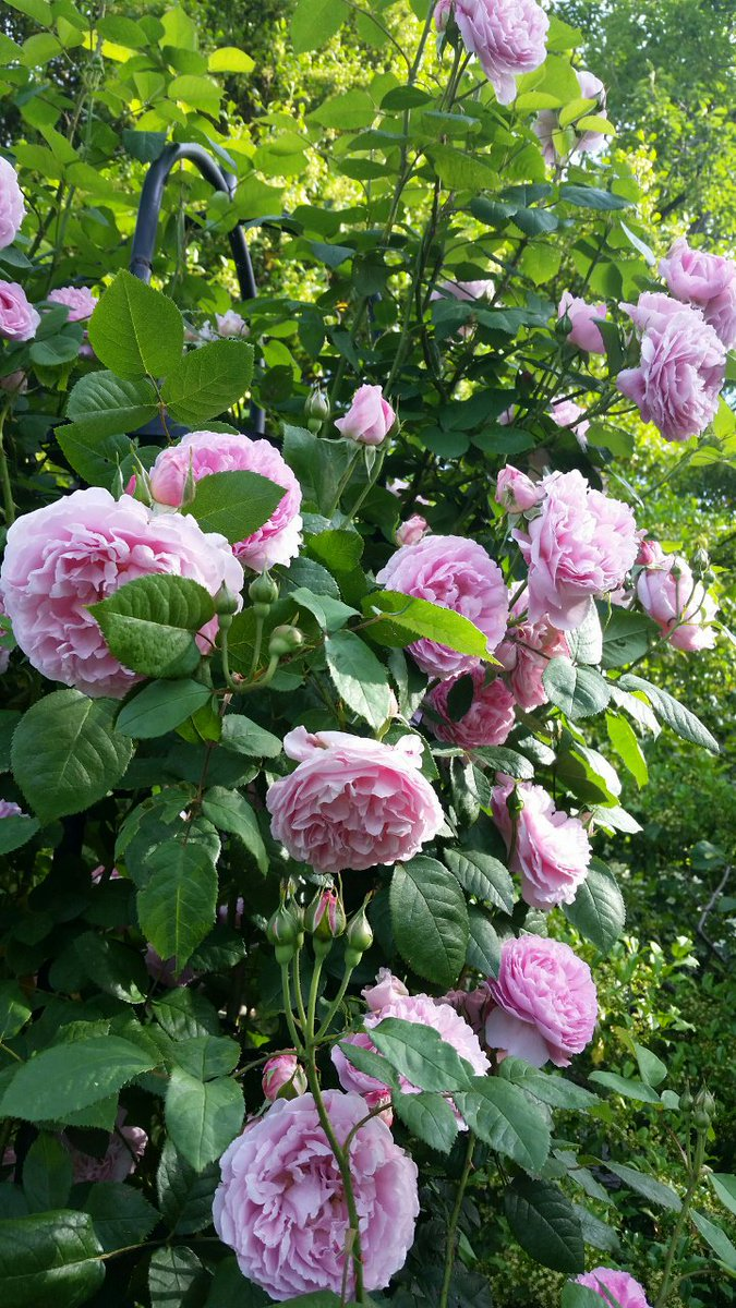 Love cottage garden roses? Check out this one- Mary Rose in full bloom right now. Beautiful, with a wonderful scent! https://t.co/LtF2rZHvP3