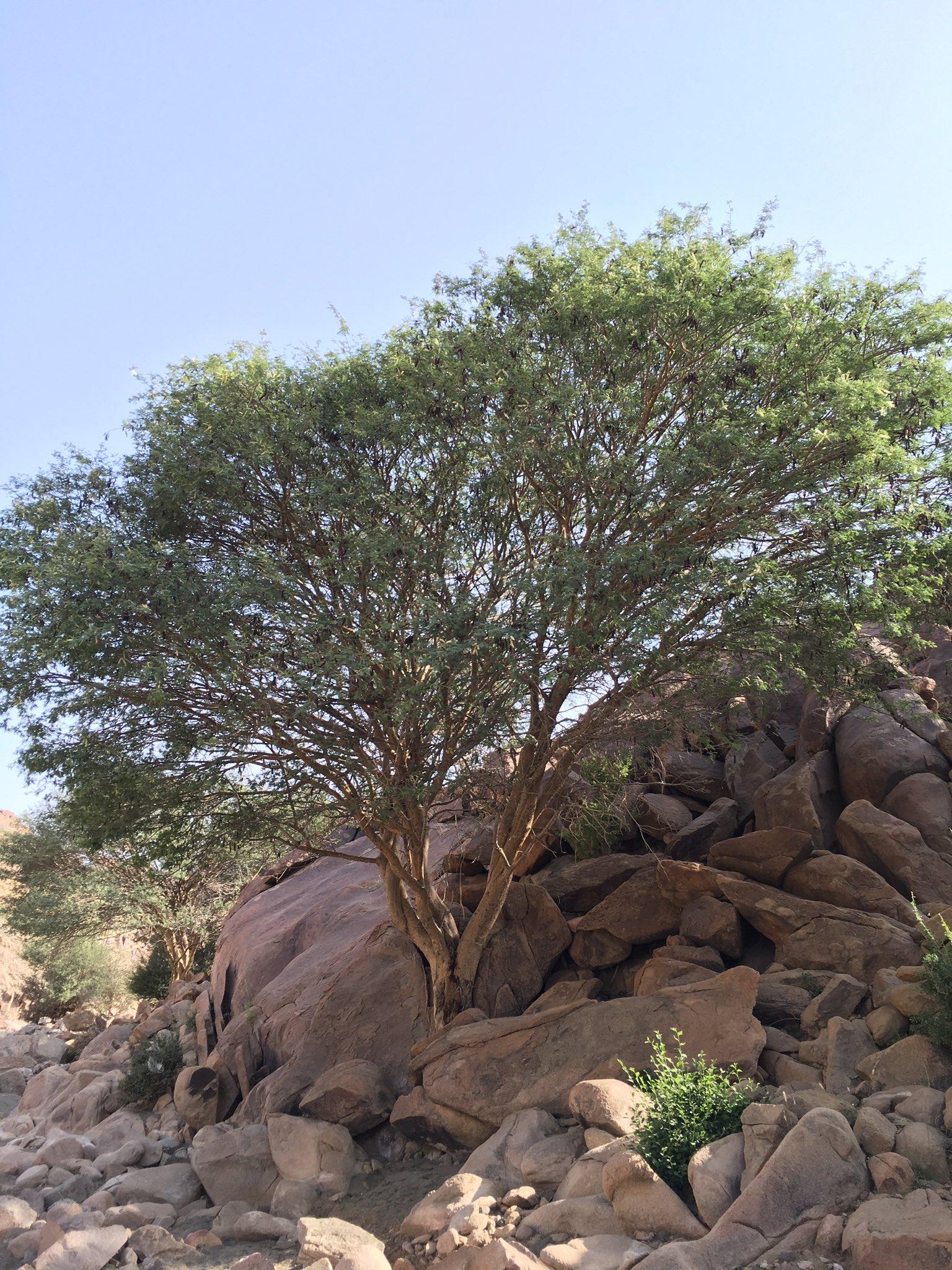 نباتات الطائف البرية Di Twitter الضهيان الضهياء شجره وزهره وثمره و بذوره