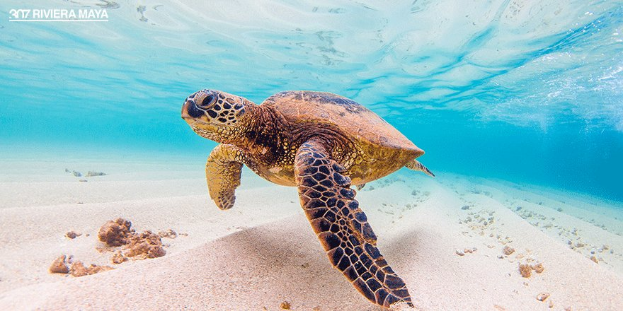Vive la experiencia de nadar con tortugas. ¡Akumal te espera! https://t.co/D0b8KeGfyl #307RivieraMaya #Ecoturismo https://t.co/efY1k8avg8