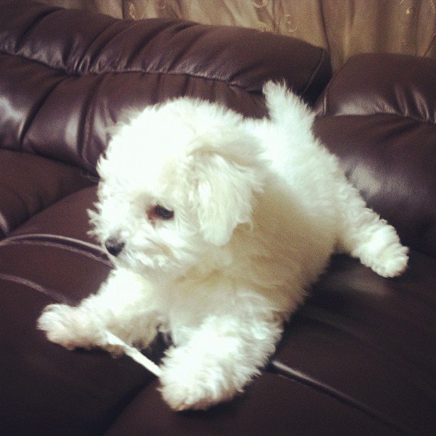 【今日のワンちゃん♥:Todays cute dog】 *可愛いと思ったら拡散してワンッ@ 'ェ' @  「暇だよ〜」 #dog #cute #犬 #かわいい #可愛い #わんこ #もふもふ #プードル https://t.co/T62w76icNG